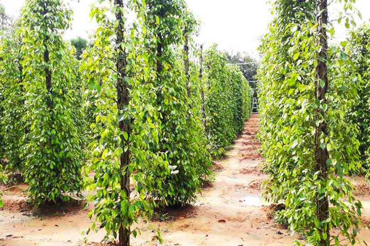 Join a Kampot pepper tour