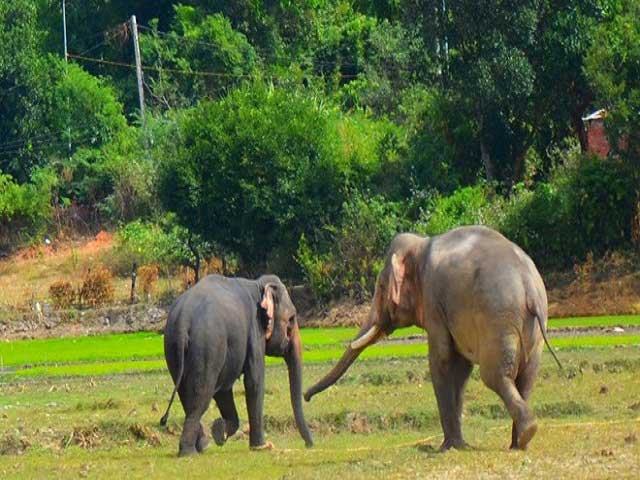 ELEPHANT SAFARI IN DAK LAK AND YOK DON NATIONAL PARK